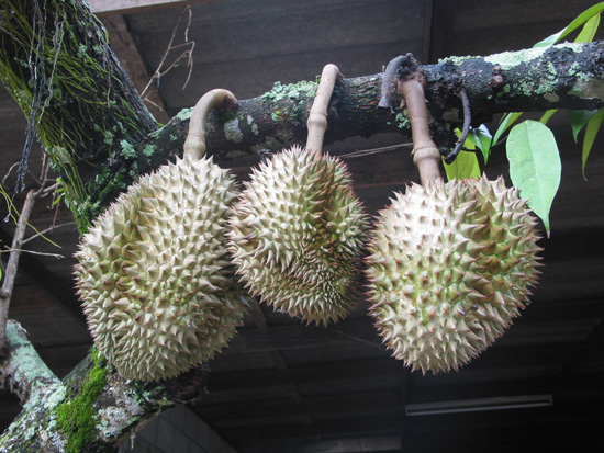 Durian Fruit on the Tree