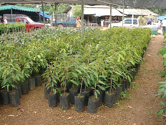 Durian Saplings - Baby Durian Trees