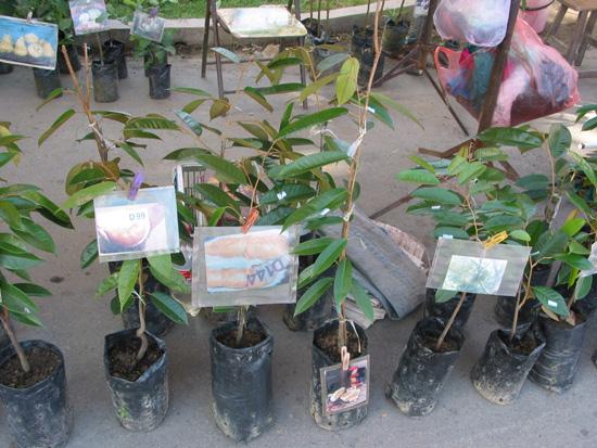 Durian Botany