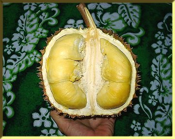 Durian Abscission Zone in a Durian Fruit Stem